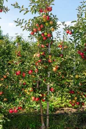 dwarf apple tree on trellis with fruits in an industrial farm garden at harvest time Zdjęcie Seryjne - 130770090