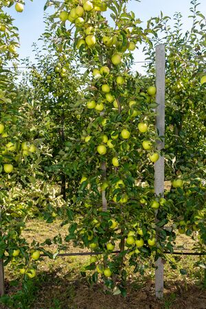 dwarf apple tree on trellis with fruits in an industrial farm garden at harvest time