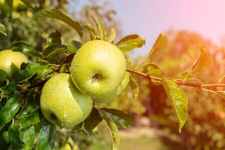 apple tree with fruits close up in the rays of sun. Autumn harvesting ripe crop