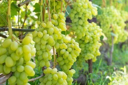 kiść białych winogron zbliżenie makro. Koncepcja jesiennych zbiorów w przemysłowym ogrodzie.