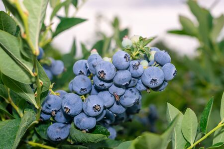bunch of blueberry berries close-up on green bush macro. Gardening concept