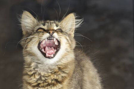 playful gray striped cat with open mouth yawns closeup on little blurred background. Portrait of domestic cat Stock Photo