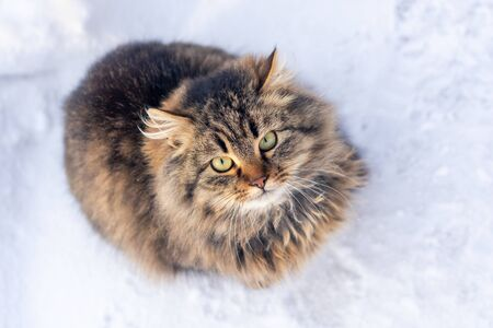 Portrait of a cat with long fur of brown and gray color on white blurred background. Winter in the snow