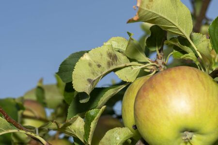 scab on the leaves and fruits of an apple tree close-up. Diseases in the Apple Orchard Stok Fotoğraf