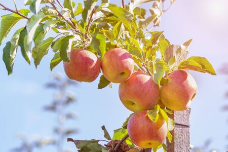 ripe juicy fruit of an apple tree on tree in the garden in the sun. Autumn Harvesting Concept