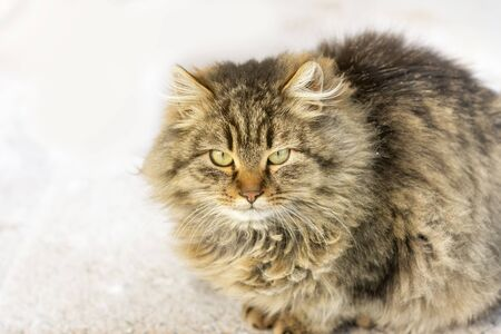 angry displeased gray-brown cat with fluffy long hair. Sitting on street in winter