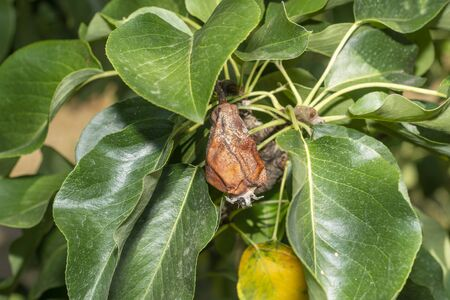 pear fruit on tree close-up with disease and rot. Garden Protection Concept
