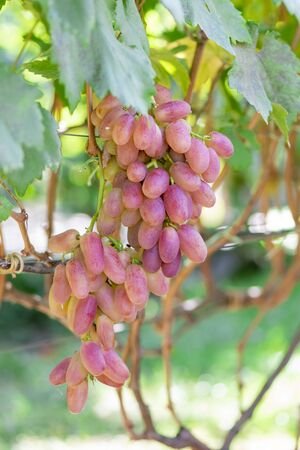 ripe pink bunch of grapes close-up on the vine in  sun. Background texture