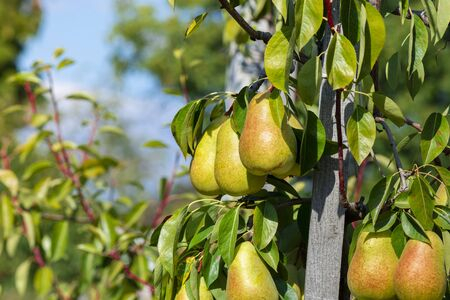 ripe juicy pear fruit on a tree in  garden in the sun. Autumn Harvesting Concept