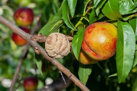 sick leaves and peach fruits in the garden on tree close-up macro. Peach Orchard Disease Concept Zdjęcie Seryjne