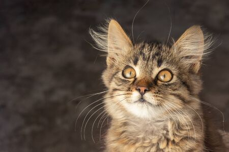 Portrait of a young cat with long fur of brown and gray on dark blurry background. Emotion of surprise and irritation. copy space