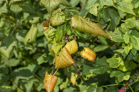 diseased leaves in spots of rotten blackcurrant. Protection against diseases and pests in  garden
