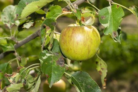 scab on the leaves and fruits of an apple tree close-up. Diseases in the Apple Orchard Zdjęcie Seryjne