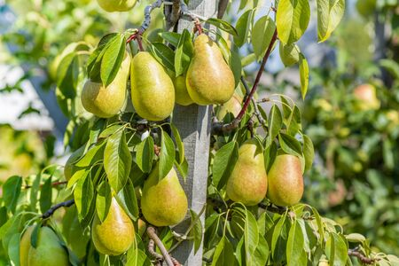 pear tree with ripe yellow fruits in fall in the sun. Industrial garden, background