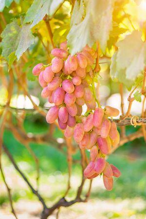 large thunderstorm of ripe pink grapes at sunset. Grape garden, background Zdjęcie Seryjne