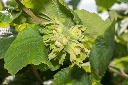 flowers and ripe nuts of hazelnuts on bushes with green and red leaves close-up macro. Hazelnut Industrial Garden