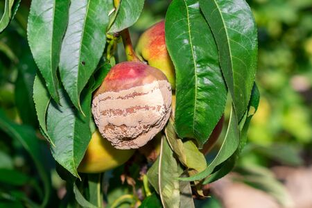 sick wrinkled green leaves and nectarine fruits in the garden on tree close-up macro. Peach Orchard Disease Concept