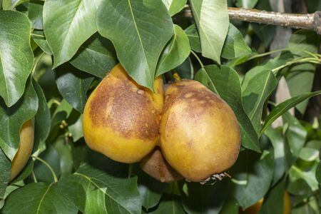 Sick pear tree in garden. Rotten yellow pear fruit close-up macro Zdjęcie Seryjne