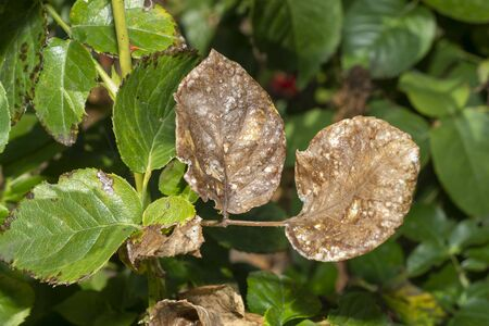 sick rose bushes and leaves. Protection against diseases in garden