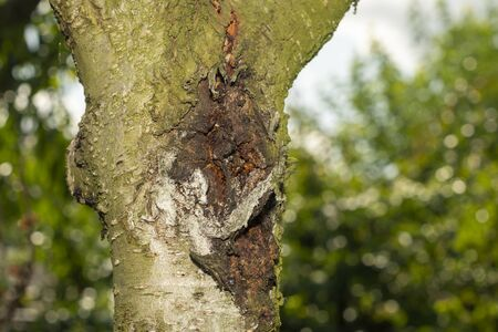 diseased bark and trunk of peach and nectarine tree. Close-up macro, rot and garden pests