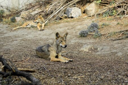 Wild young wolf lies on gray yellowed grass and stones in the forest.