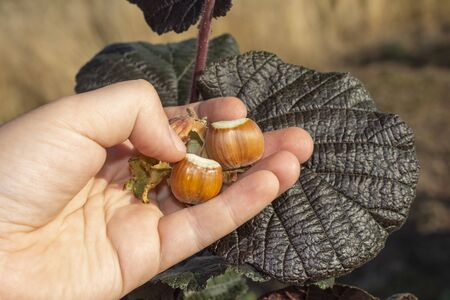 Hazelnut garden. Hazelnuts in a green shell on the branches in hand. Fruits and flowers 免版税图像