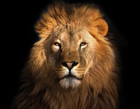 Leeuwenkoning geïsoleerd op zwart