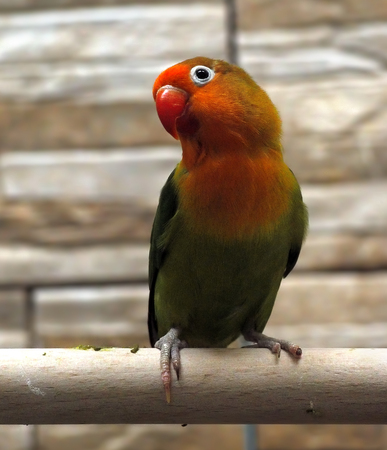 Parrot small green with red plumage near the head Stock Photo