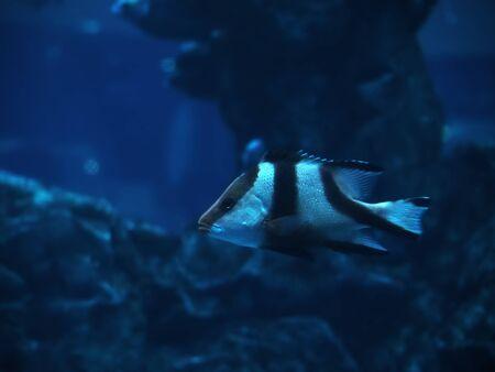 paracanthurus: Fish at the blue deep ocean