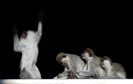 Group of monkeys sitting in a row close to each other like singer and fans isolated on black view from back
