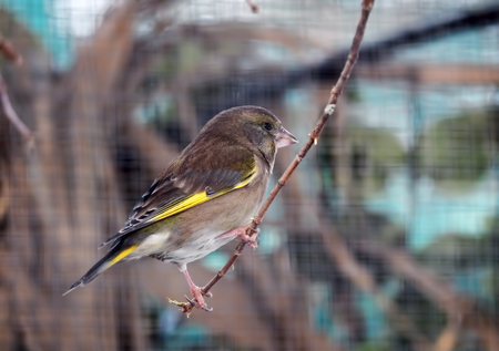 Greenfinch at the branch Stock Photo