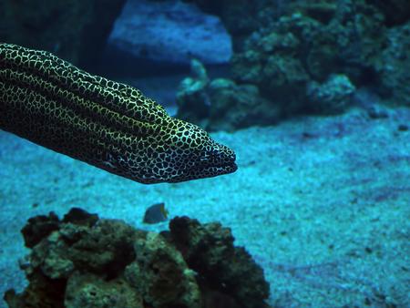Murena descubrió una serpiente de mar en el océano azul profundo cerca del primer plano de los corales Foto de archivo