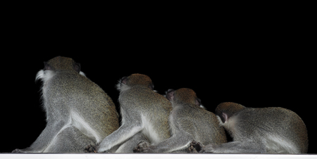 Group of monkeys sitting in a row close to each other  isolated on black view from back Stock Photo