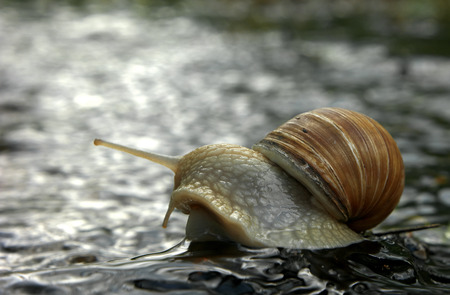 slow motion: Snail superstar on the rock Stock Photo