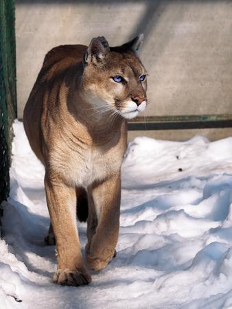 Puma walking at camera at the snow