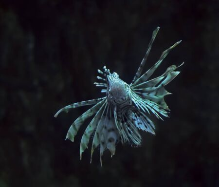 Fish blue Pterois volitans at the deep ocean close up turning