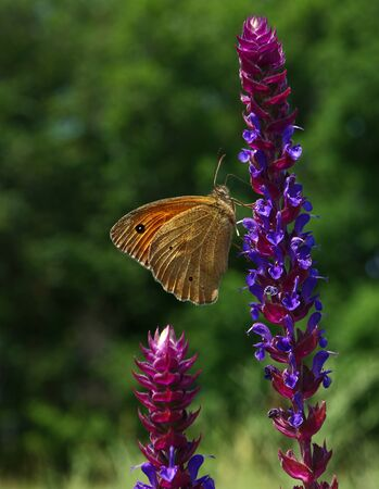 Butterfly orange Hyponephele lycaon at a sunny flower vertical