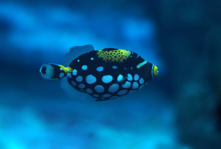 triggerfish: Small blue fish with white spots at deep ocean Stock Photo
