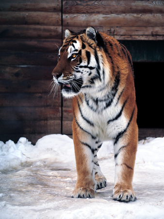 Tiger standing  full size Stock Photo