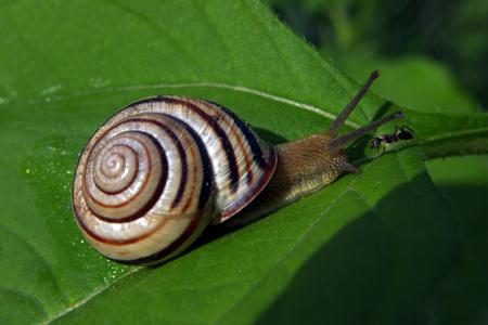 Escargot et visage de fourmi à visage à la feuille verte Banque d'images - 75303165
