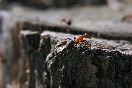 brown red Ant is climbing at the rock at the forest Stock Photo