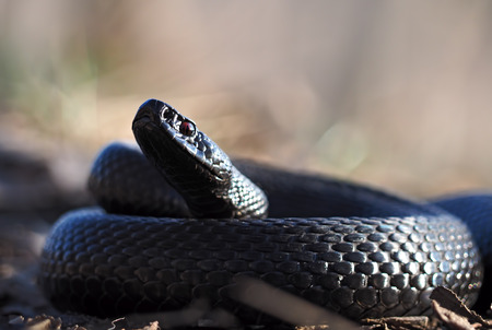 asp: Black snake at the forest at the leaves  curled up in the ball looking at the camera