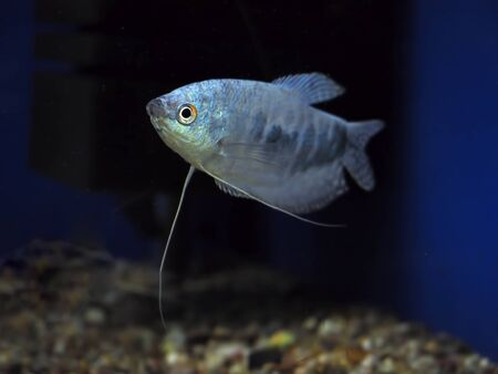 perciformes: Fish Trichogaster microlepis gourami blue Stock Photo
