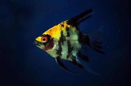 pterophyllum scalare: Fish Pterophyllum scalare at dark blue water close up