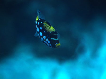 triggerfish: Small blue fish with white spots at the deep ocean