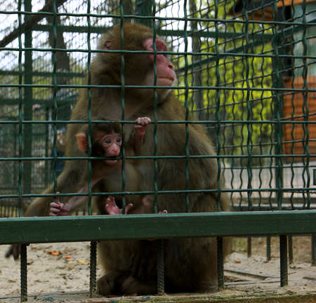 cage gorilla: Monkeys surprised mother with baby