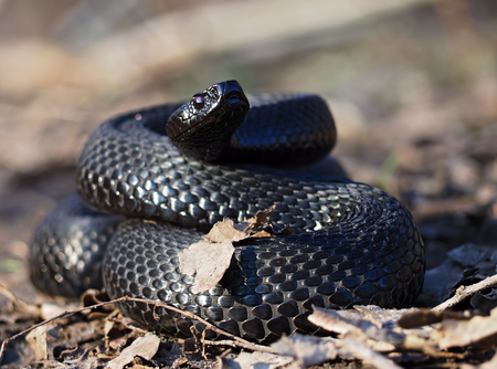 asp: Black snake at the forest at the leaves curled up in the ball