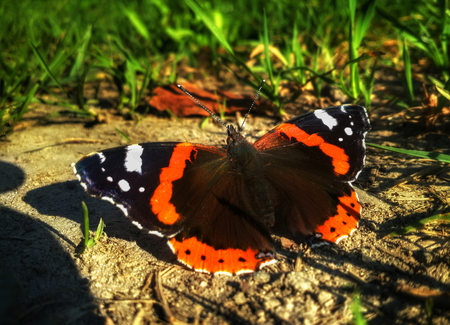 sitting on the ground: Butterfly Aglais urticae is sitting on the ground near the grass