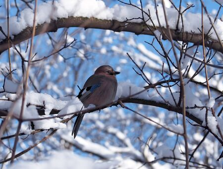 bluejay: Jay is sitting at the branch full of snow at the blue sky background and looking forward Stock Photo
