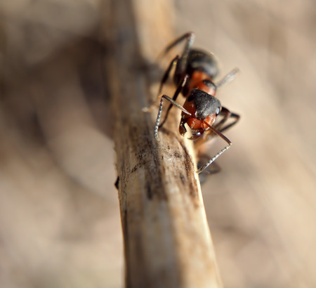 Ant at the wood climving up and looking at camera